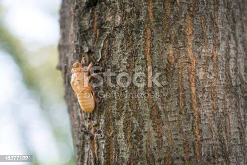 istock Slough off the cicada s golden shell 483771221