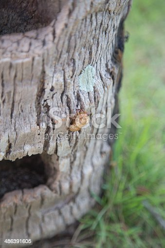 istock Slough off the cicada s golden shell 486391605
