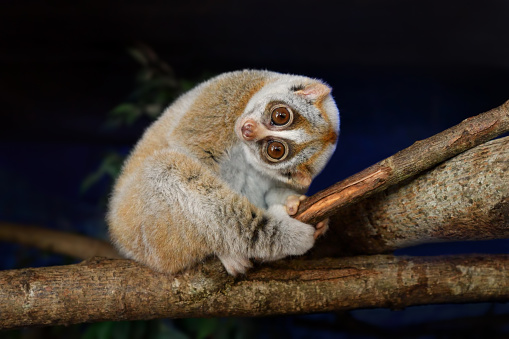 close-up of a bengal slow loris (Nycticebus bengalensis) sitting on a branch at night.