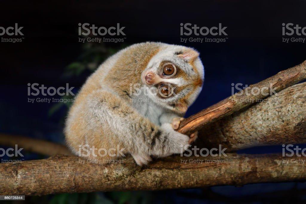 slow loris stock photo