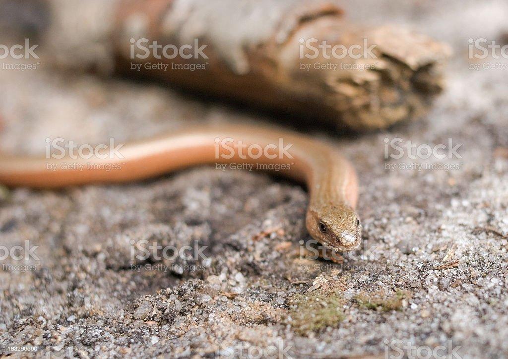 slow worm royalty-free stock photo