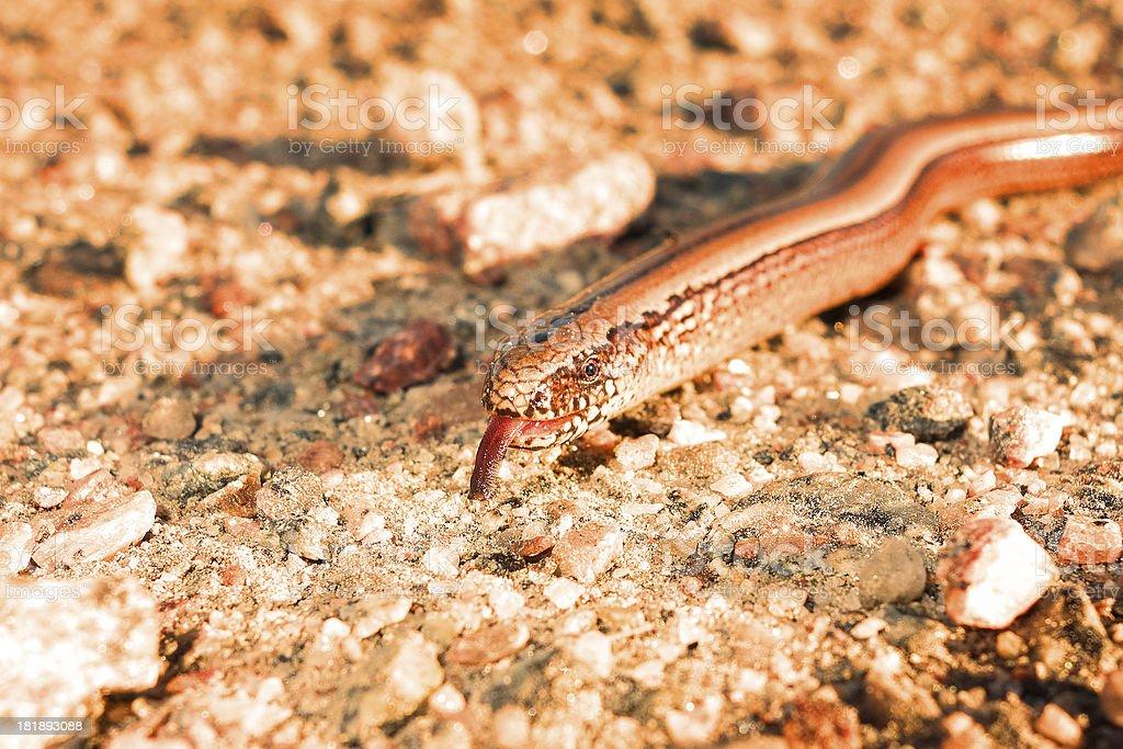 Slow worm says aah stock photo