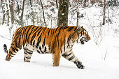 Siberian tiger in the winter. The tiger is walking slowly through the forest and staring into the distance. White snow highlights the orange color of its fur. Characteristic patterns and textures of fur are clearly visible.