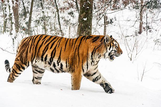 slowly walking siberian tiger in snow - сибирь стоковые фото и изображения