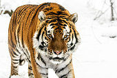 Siberian tiger in the winter. The tiger is walking slowly through the forest and staring into the distance. White snow highlights the orange color of its fur. Characteristic patterns and textures of fur are clearly visible. Its cold, steady gaze inspires the fear and the respect.