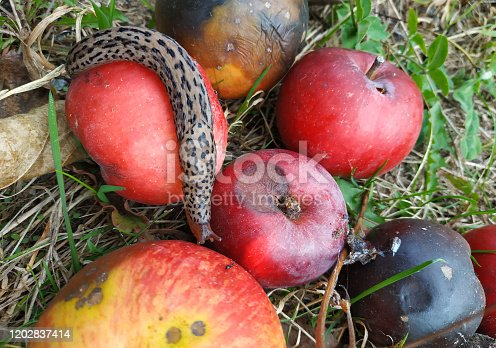 spotted leopard slug crawling between apples at summer day