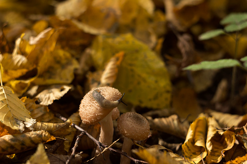 Slug creeps on a mushroom in the forest in autumn. Forest life, background, concept. Slug and honey mushroom