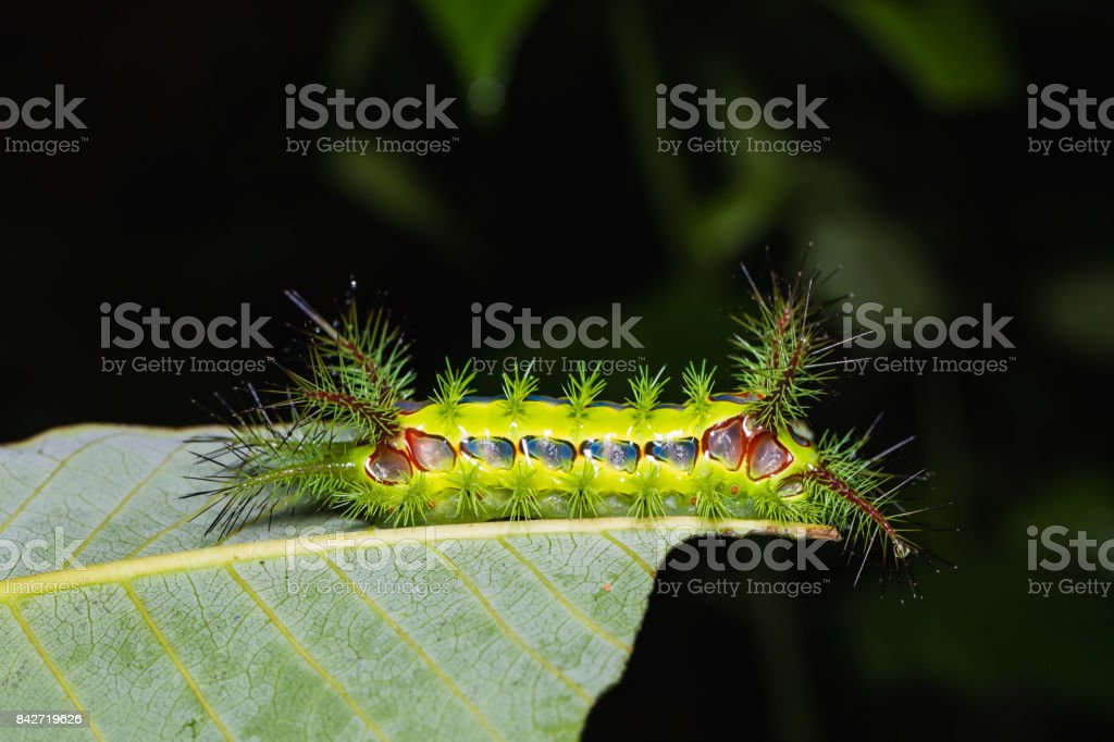 Slug moth caterpillar stock photo