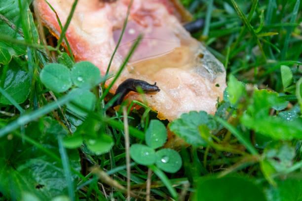Slug on tomato Slug feeding on tomato in the grass with clover kathrynsk stock pictures, royalty-free photos & images