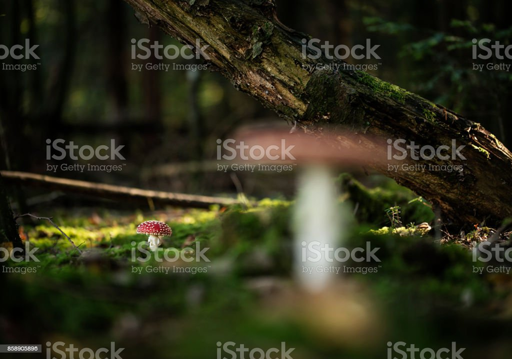 Smal red amanita muscaria mushroom. stock photo