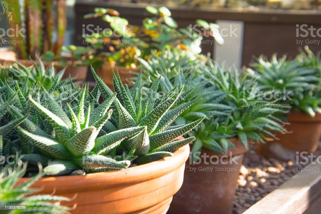Small Agave Bushes In Pots In A Greenhouse Stock Photo Download
