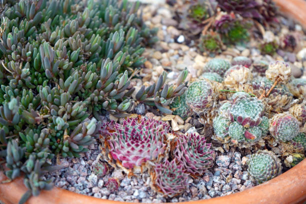 Small alpine plants growing in gravel Small alpine plants growing in gravel sedum plant stock pictures, royalty-free photos & images