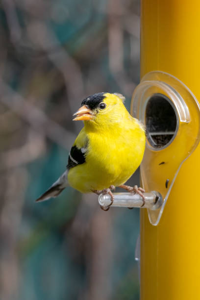 Small american goldfich perched on a feeder feeding niger seed Small american goldfich perched on a feeder feeding niger seed american goldfinch stock pictures, royalty-free photos & images