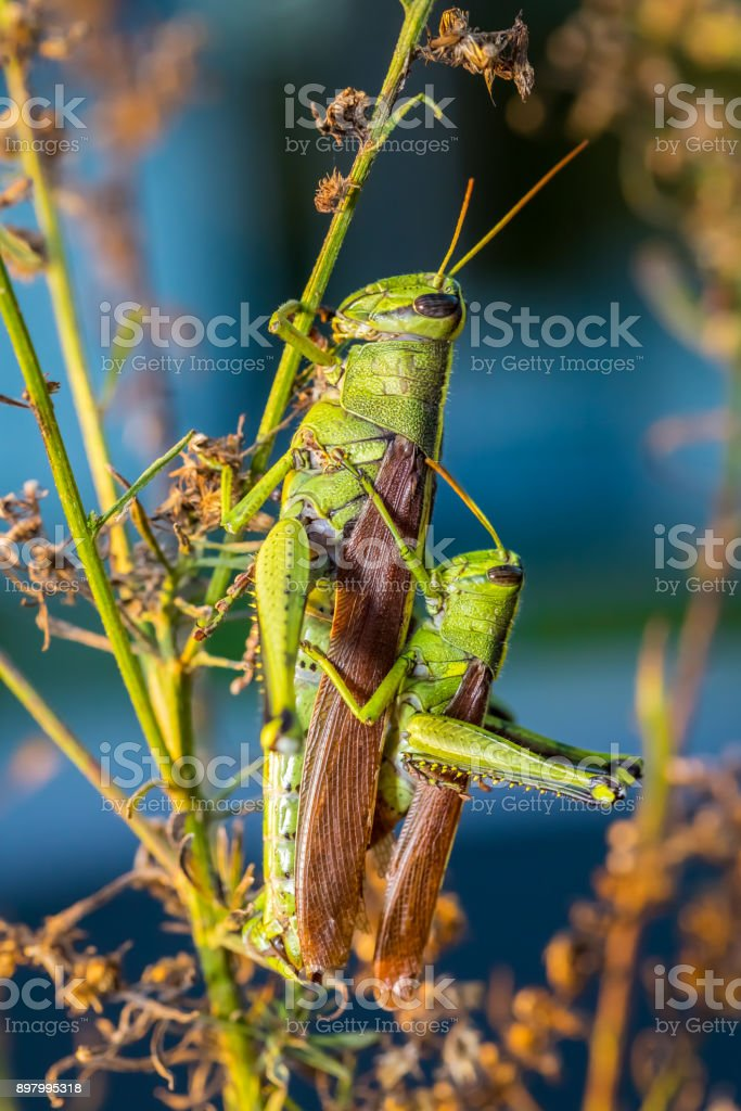 Small and Big Mating Grasshoppers stock photo