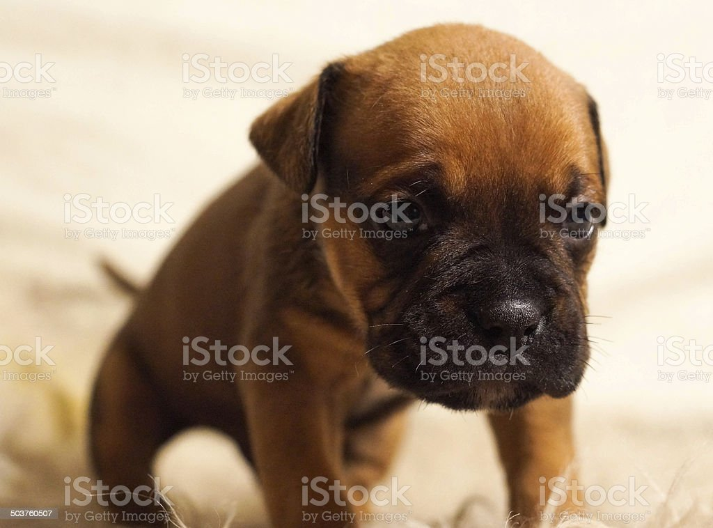 Small and gentle three-week French puppy stock photo
