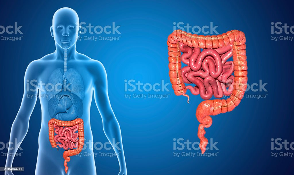Small and Large intestine stock photo