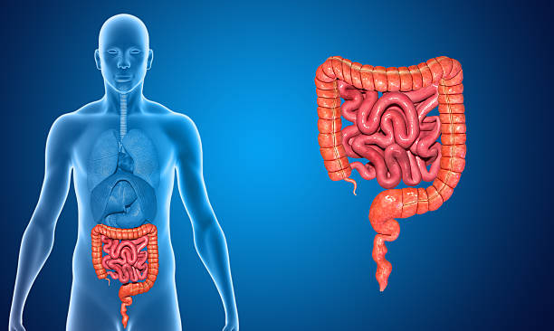 small and large intestine - human intestine stock photos and pictures
