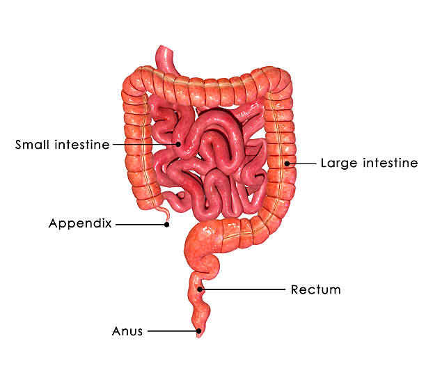 Royalty Free Human Small Intestine Pictures Images And Stock Photos