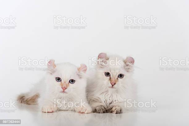 Small and young bright white sad american curl couple picture id597263444?b=1&k=6&m=597263444&s=612x612&h=lccrbcvtesbsuzztnuoobt bjooyihwd5dythcjtgtc=