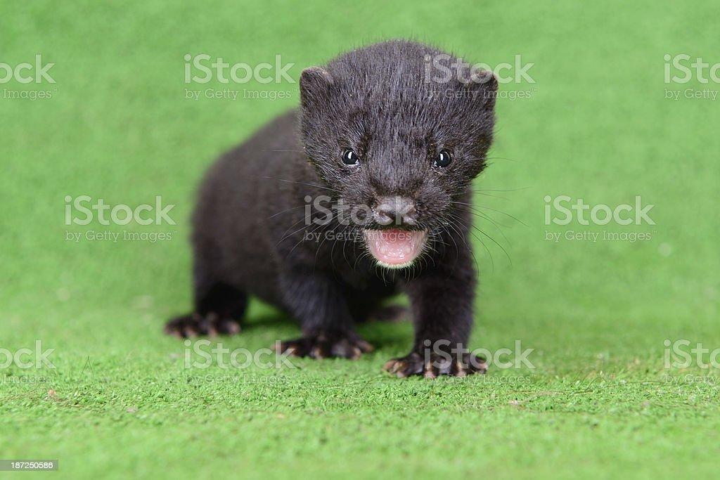 small animal mink stock photo