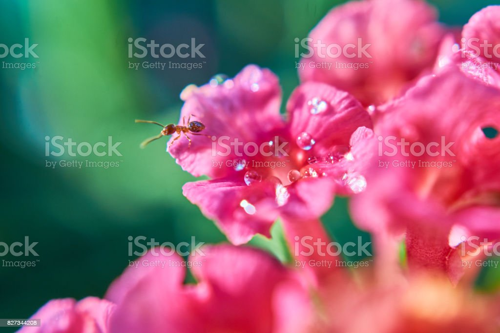 small ant on flower with drops stock photo