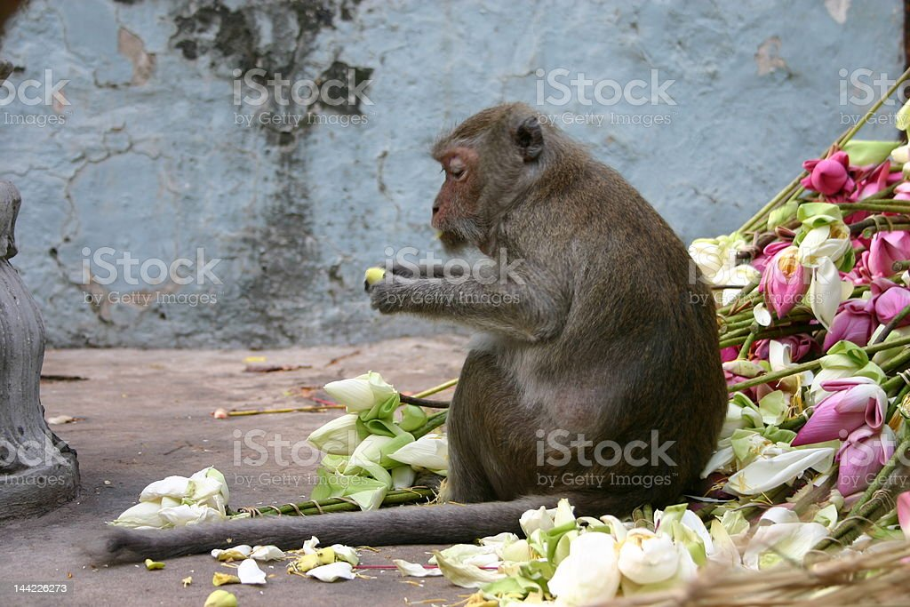 Small ape eating lotus flowers cambodia stock photo more pictures small ape eating lotus flowers cambodia royalty free stock photo mightylinksfo