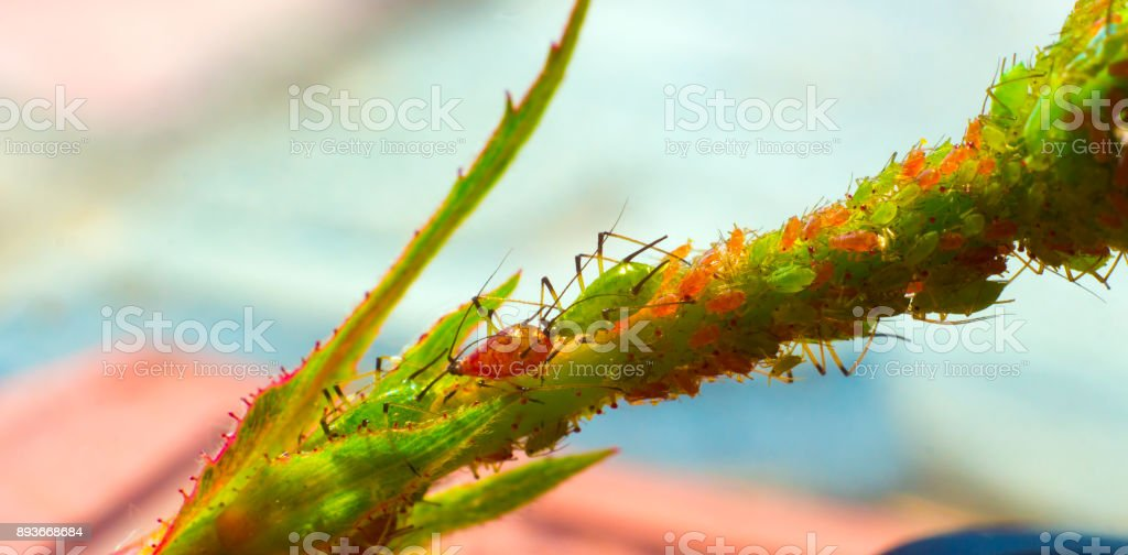 small aphid on a green leaf in the open air stock photo