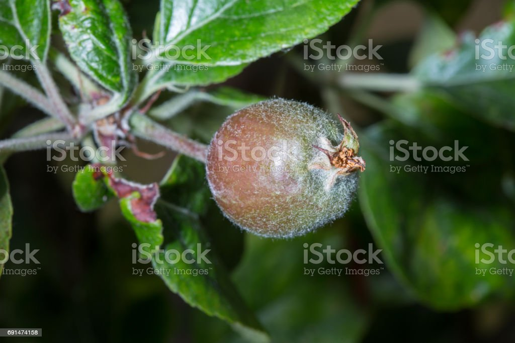 Small apple forming on tree stock photo