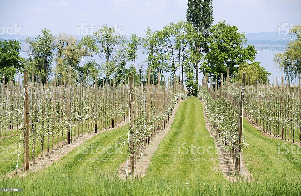 small apple trees in blossom at lakeside royalty-free stock photo