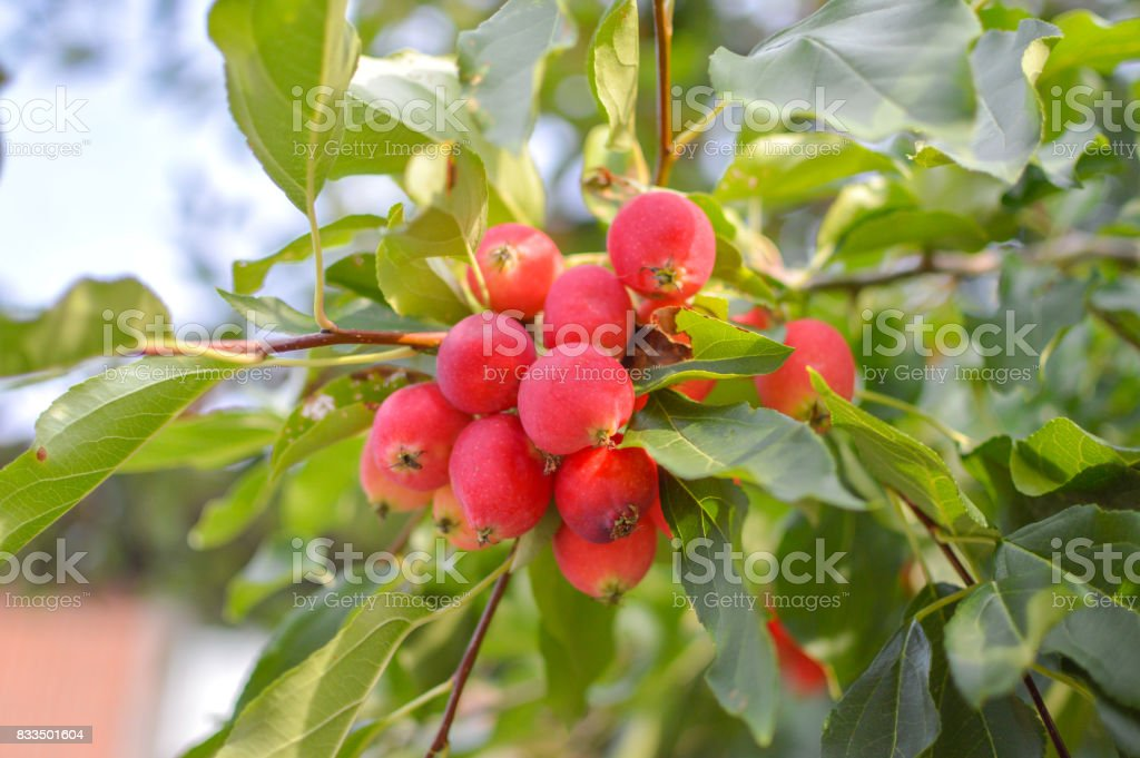 Small Apples Fruits On The Branches Of Apple Trees Stock Photo Download Image Now Istock