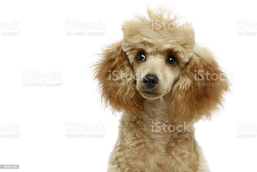 Small Apricot Poodle Puppy Stock Photo Download Image Now Istock