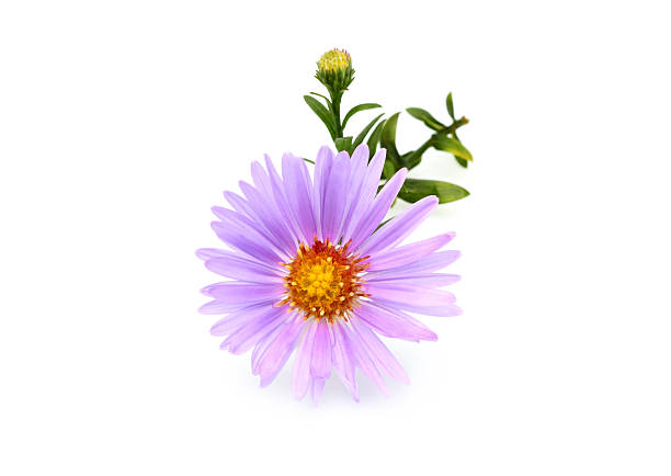 Small Aster purple isolated. – Foto