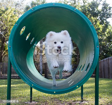 A Mini Eskimo dog tearing up the agility equipment at the park