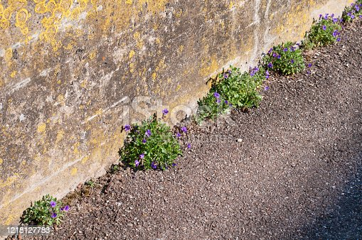 small shrubs of aubrieta deltoidea or lilacbush growing on a sidewalk next to a stone wall covered with lichens