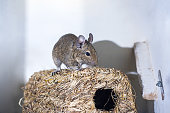 Small Australian home pet Degu. Isolated on white background.
