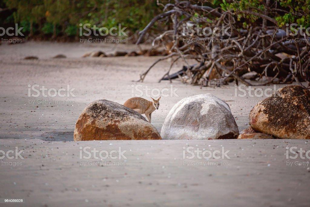 A Small Australian Wallaby Kangaroo Marsupial Behind Rocks On The Beach At Sunrise - Royalty-free Animal Stock Photo