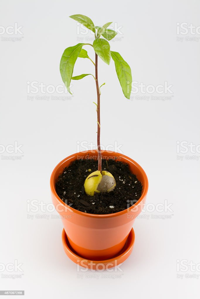 Small avocado tree stock photo