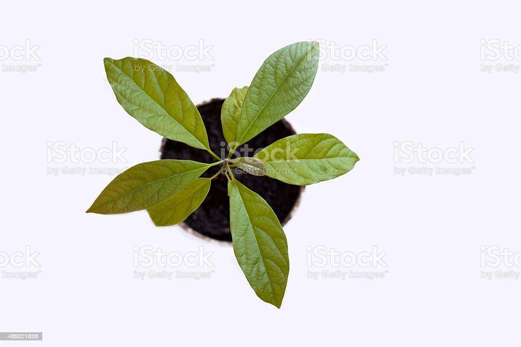 Kleine Avocado-Baum – Foto