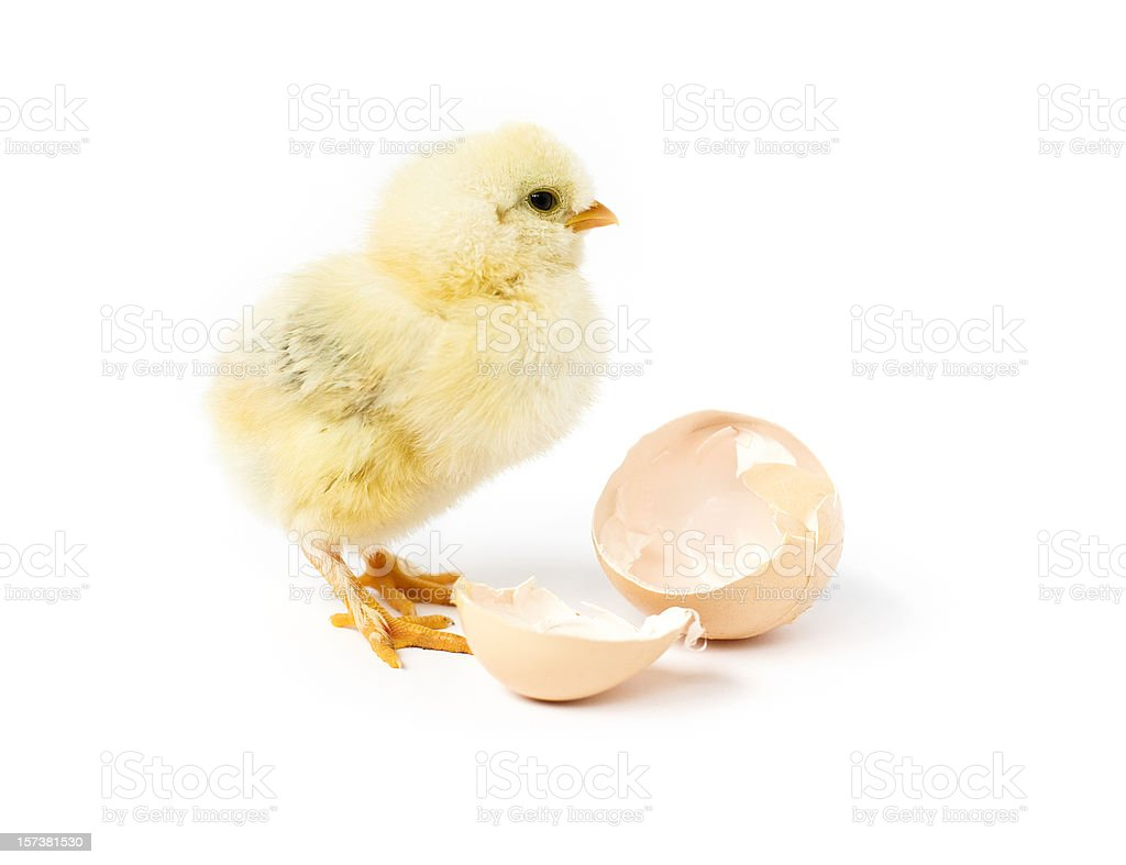 A small baby chick and its old home royalty-free stock photo