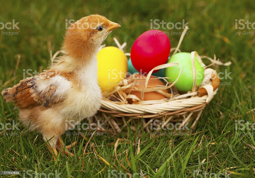 Small baby chickens with colorful Easter eggs royalty-free stock photo