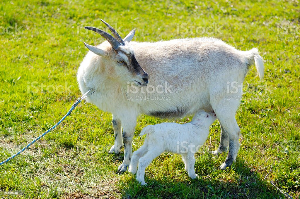 small baby goat sucks a udder royalty-free stock photo