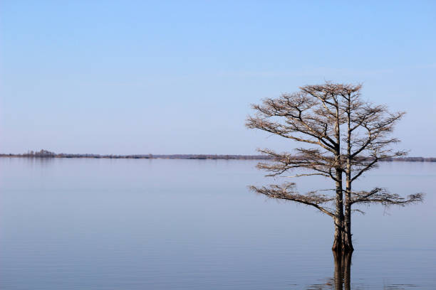 kleine kale cypress tree omgeven door lake mattamuskeet - bald cypress tree stockfoto's en -beelden