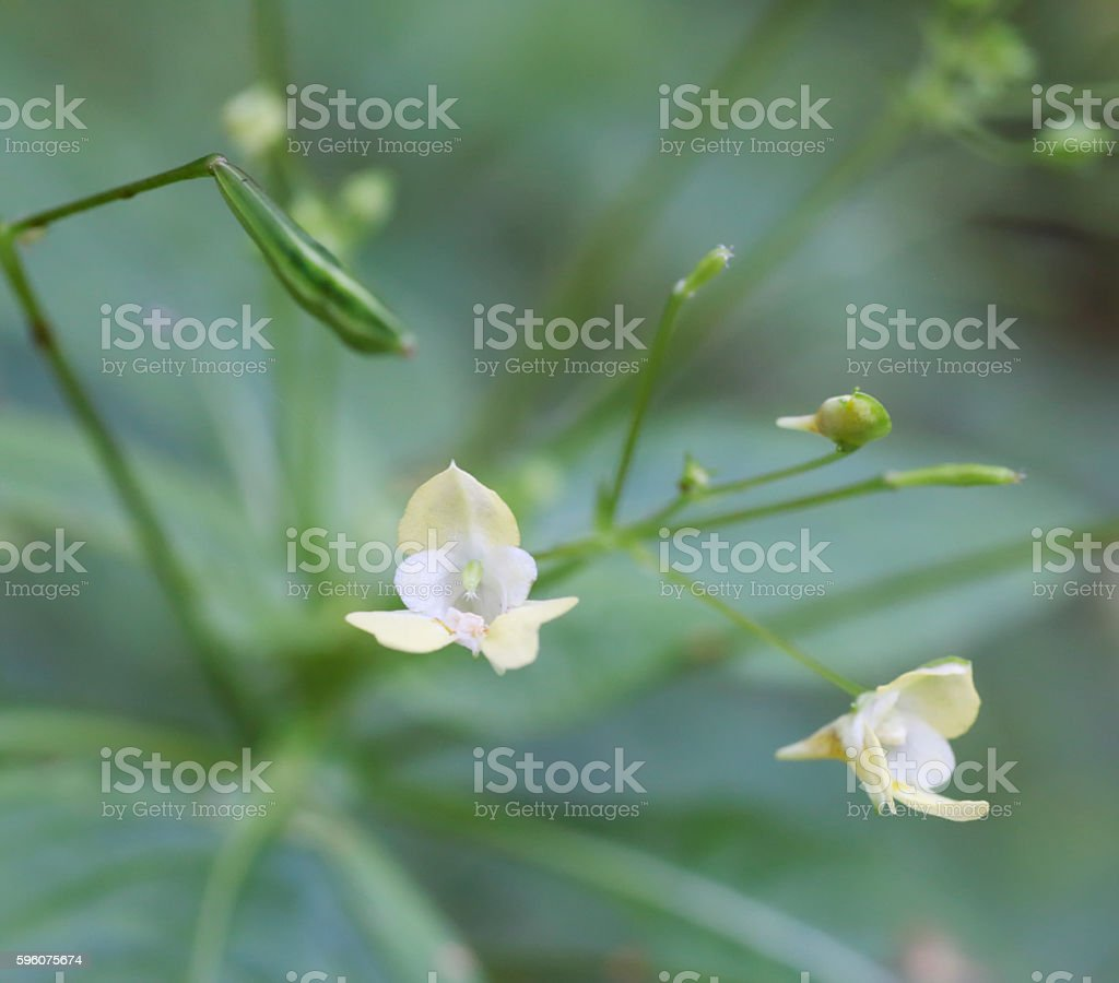 Small balsam (Impatiens parviflora) royalty-free stock photo