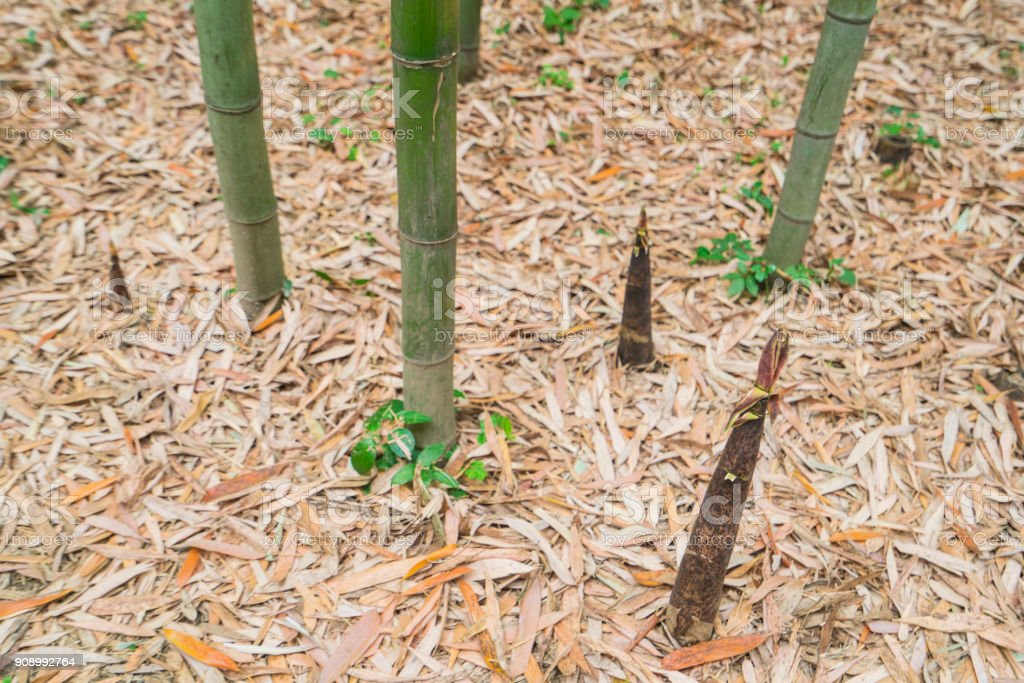 Small Bamboo Plants Growing In Bamboo Forest Kyoto Japan Stock