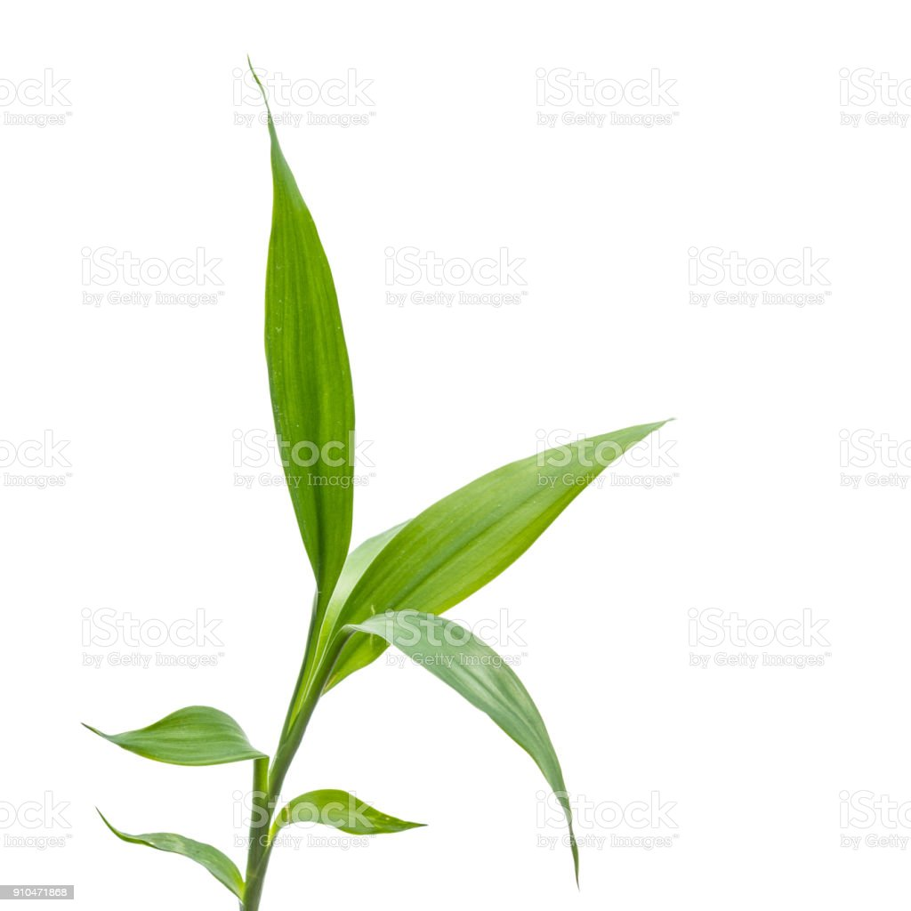 small bamboo sprout on the white background stock photo