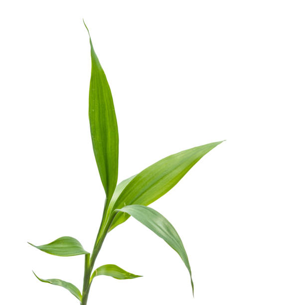 kleinen Bambus-Sprossen auf dem weißen Hintergrund – Foto