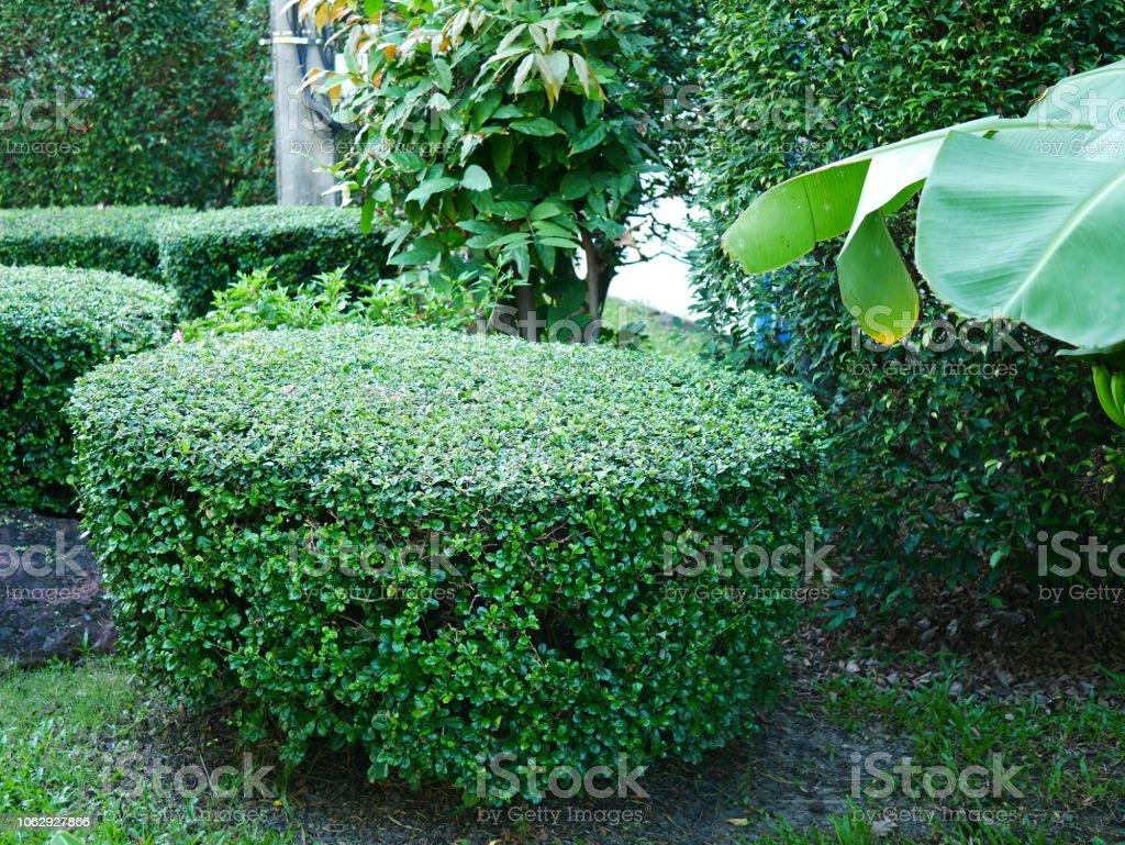 Photo Petit Jardin Exotique photo libre de droit de petit bananier dans le jardin banque