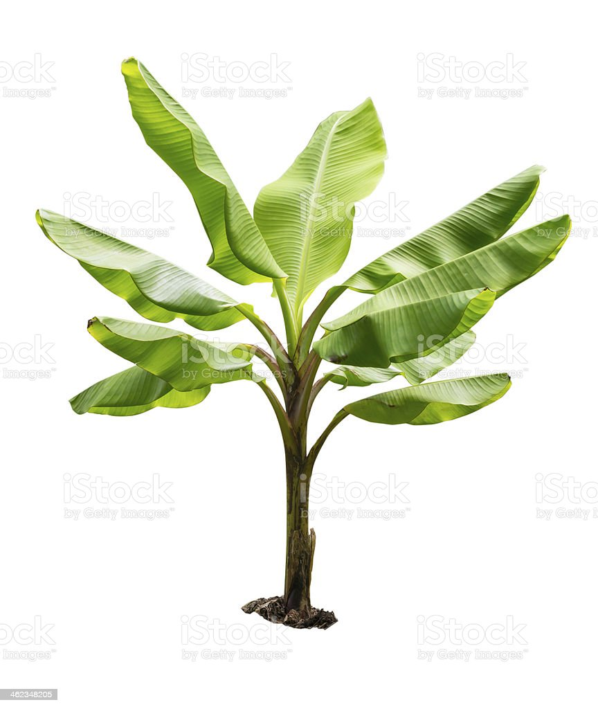small banana tree isolated on white background stock photo