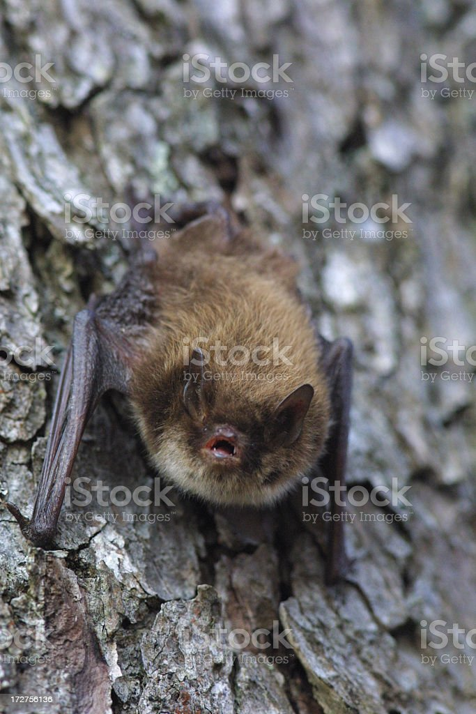 Small bat standing on wood and looking to the camera royalty-free stock photo