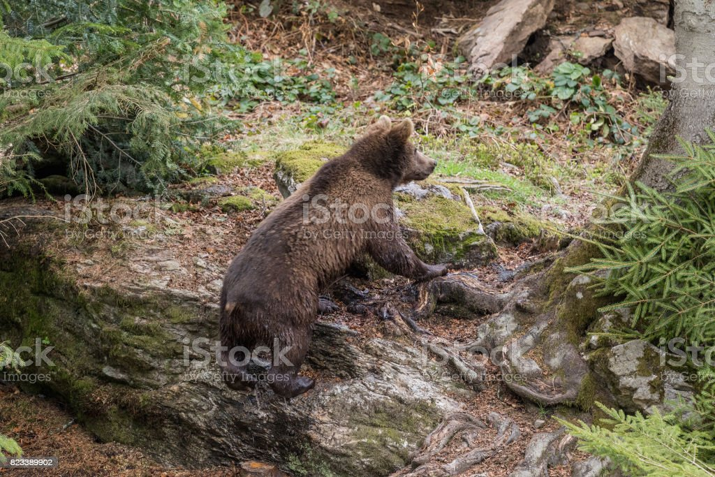 A small bear climbs out of the water and climbs on a rock.. Baby Brown Bear. Ursus arctos. stock photo